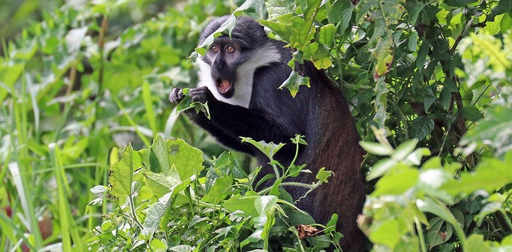 L'Hoest's Monkey (image by Damon Ramsey)