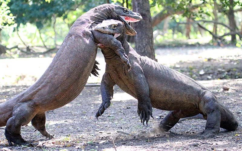 Komodo Dragons fighting and biting (image by Damon Ramsey)