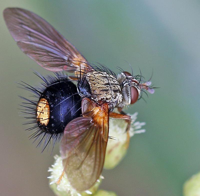 'Hedgehog Fly' (image by Damon Ramsey)