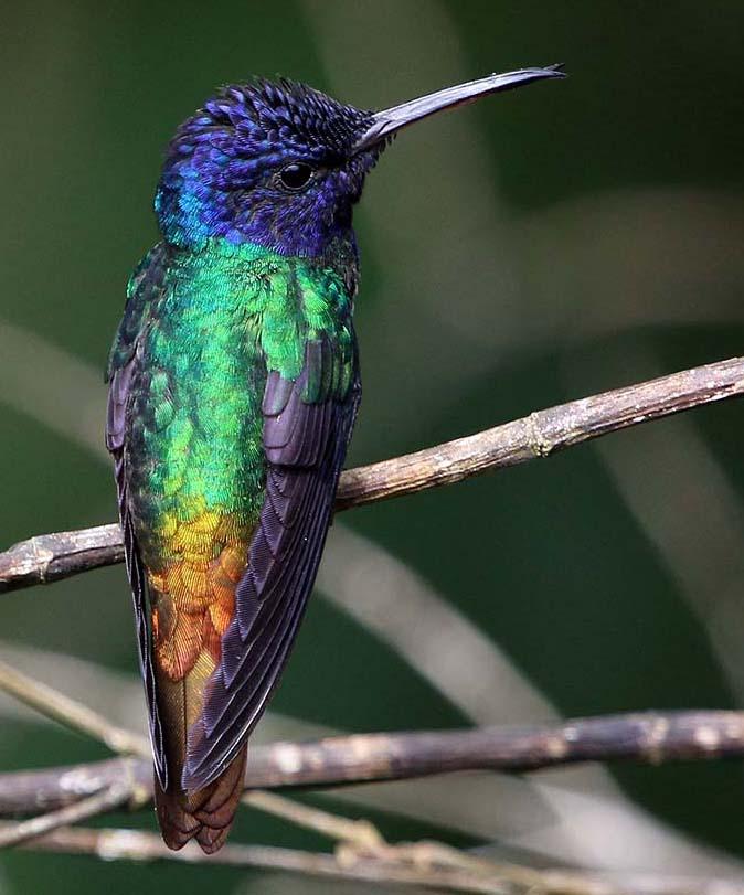 Hummingbird (image by Damon Ramsey)