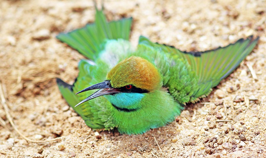Little Green Bee-eater (image by Damon Ramsey)