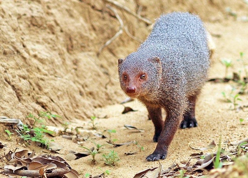 Ruddy Mongoose (image by Damon Ramsey)