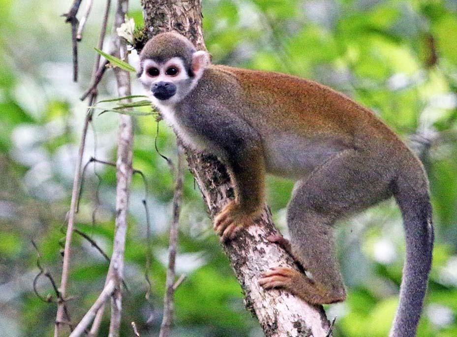 Humboldt's Squirrel Monkey (image by Damon Ramsey)