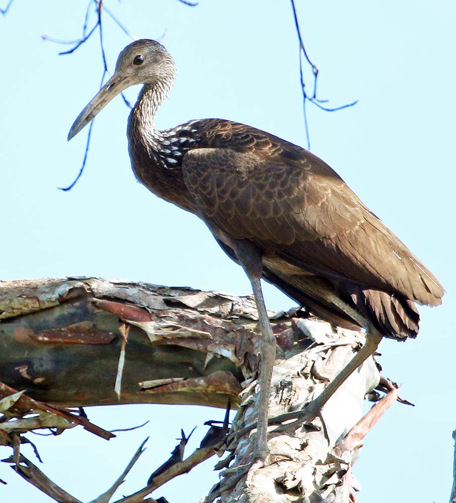 Limpkin (image by Damon Ramsey)